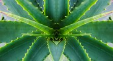 Aloe Vera is the ultimate panacea - both for pain and pleasure